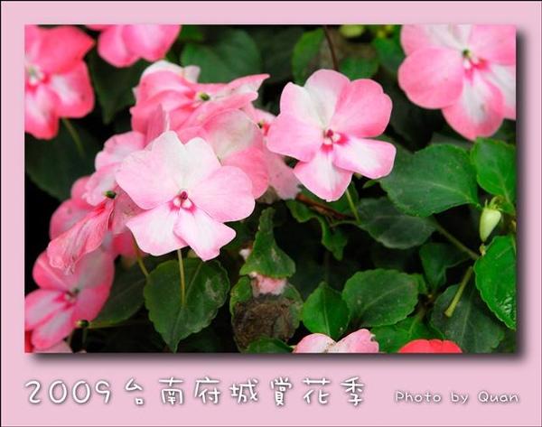 2009台南府城賞花季0112.jpg