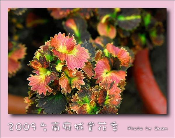 2009台南府城賞花季0113.jpg