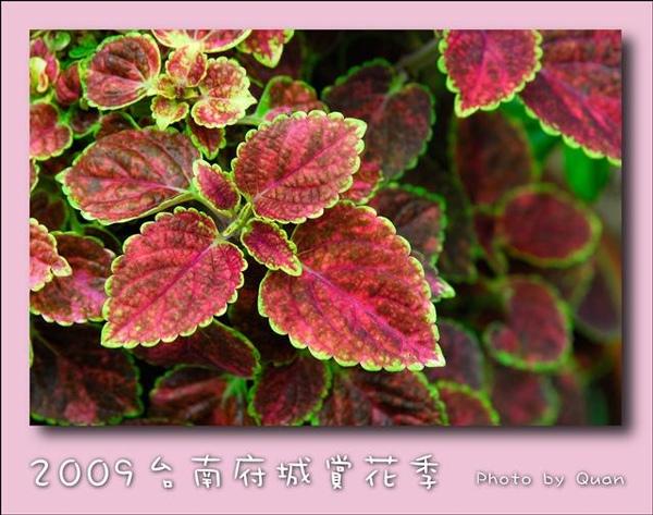 2009台南府城賞花季0114.jpg