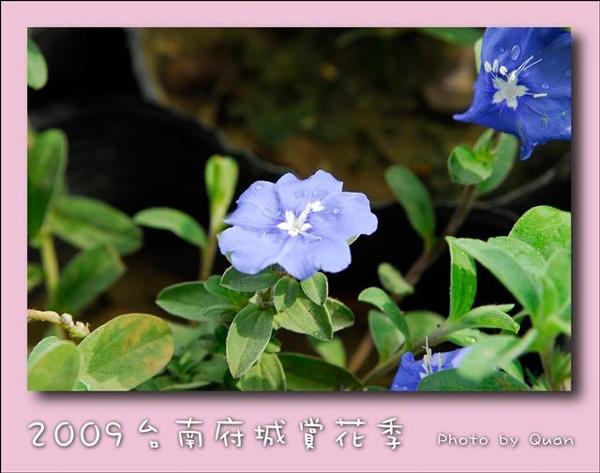 2009台南府城賞花季0125.jpg