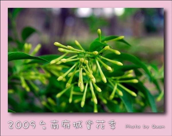 2009台南府城賞花季0126.jpg