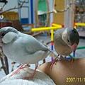 文鳥家族 (6).jpg