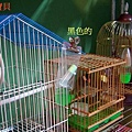 文鳥1.jpg