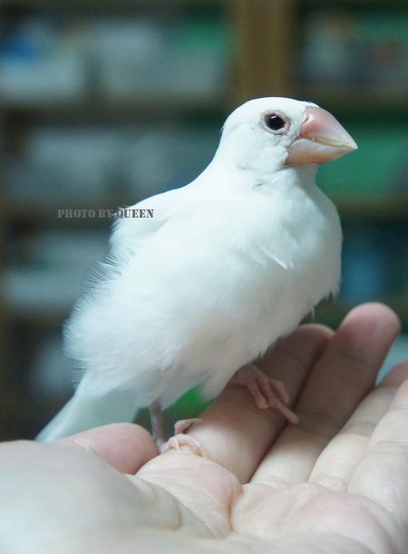 文鳥 (2).jpg