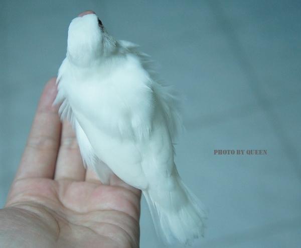 文鳥 (1).jpg