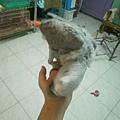 烏骨雞 (6).jpg