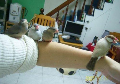 文鳥家族 (2).jpg