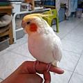 黃鳥 (1).jpg