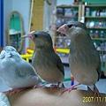 文鳥家族 (5).jpg