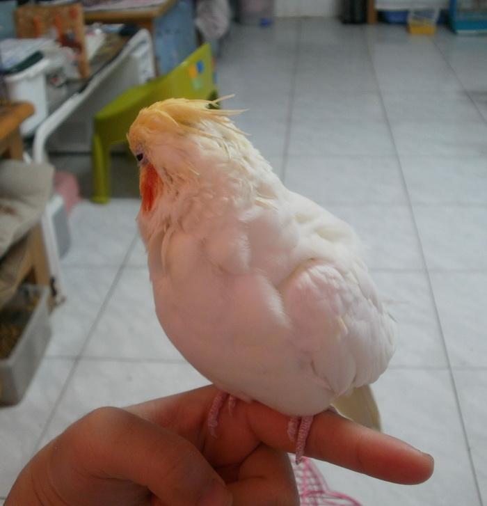 黃鳥 (3).jpg