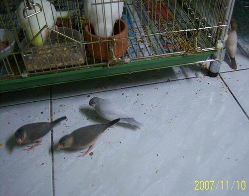 文鳥家族 (3).jpg