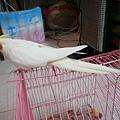 黃鳥 (2).jpg