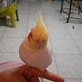 黃鳥 (4).JPG