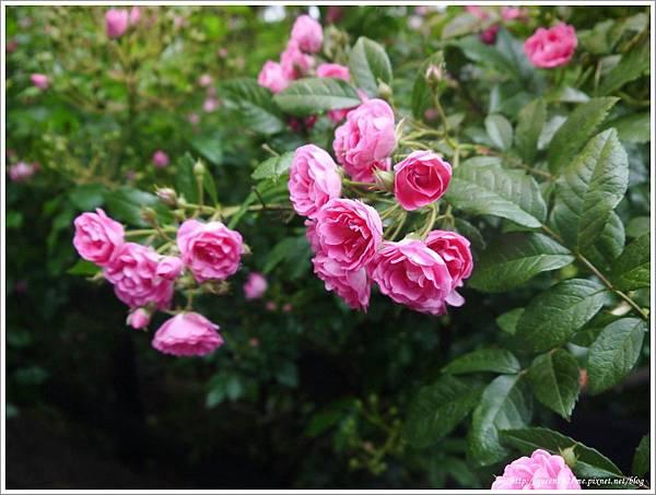 清境普羅旺斯玫瑰莊園P1410116_調整大小1.JPG