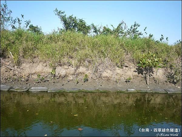 四草綠色隧道(台灣袖珍版亞馬遜河)P1530068_調整大小1.JPG