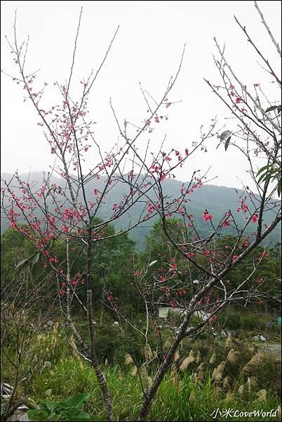 花蓮樹湖櫻花P1660622_調整大小1.JPG