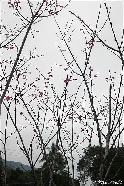 花蓮樹湖櫻花P1660623_調整大小1.JPG