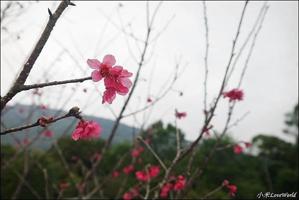 花蓮樹湖櫻花P1660627_調整大小1.JPG