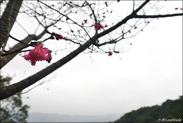 花蓮樹湖櫻花P1660638_調整大小1.JPG