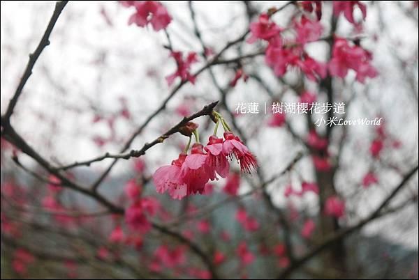 花蓮樹湖櫻花P1660667_調整大小1.JPG