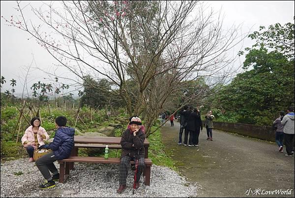 花蓮樹湖櫻花P1660672_調整大小1.JPG