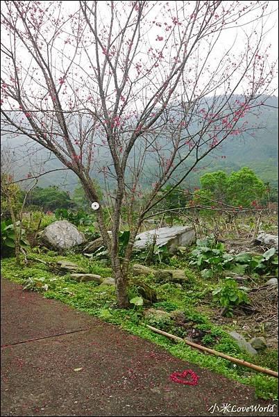 花蓮樹湖櫻花P1660674_調整大小1.JPG
