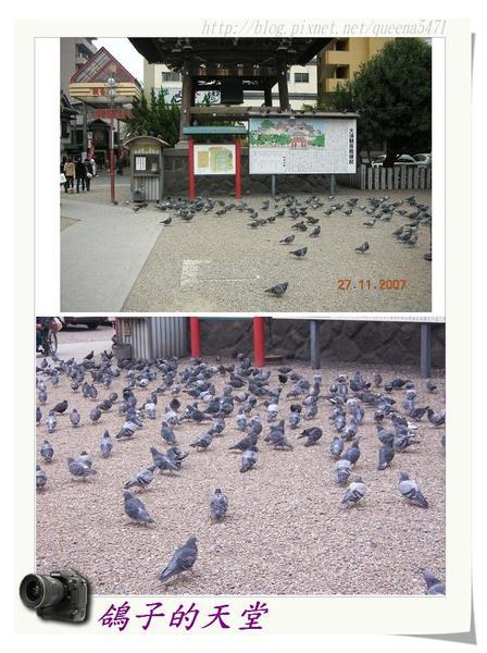 鴿子的天堂.jpg