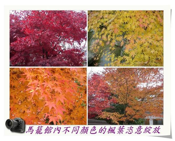 馬籠館內不同顏色的楓葉恣意綻放.jpg
