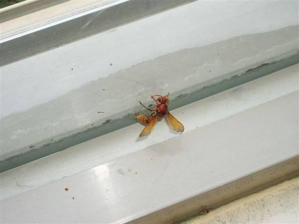2005.05.17苗栗 假面藝術節6-2--吃飯吃到一半,突然看到窗邊有隻夾縫中的蜜蜂,還真可怕!.jpg