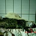 5M的蕾蕾愛睡覺7--蕾蕾,妳連書櫃上都可睡成這樣,唉...