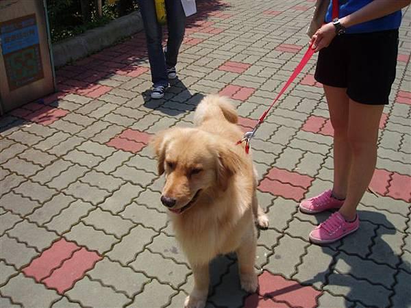 2005.05.17苗栗 假面藝術節22-1--陸上小插曲:看到漂亮的黃金獵犬