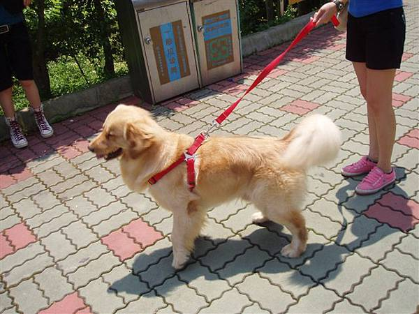 2005.05.17苗栗 假面藝術節22-2--側面的黃金獵犬