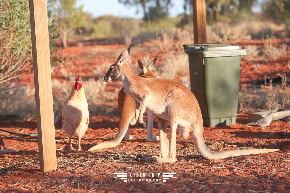 澳洲北領地/Erldunda露營車營地/Erldunda Roadhouse/有袋鼠Emu可看的營地