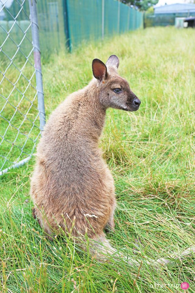 紐西蘭南島親子景點 Tame Wallabies EnkleDooVery Korna 被小袋鼠萌化吧