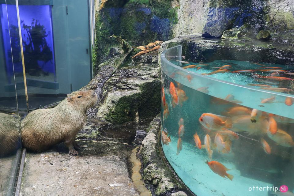 【日本三重】鳥羽水族館Toba Aquarium的可愛海洋居民