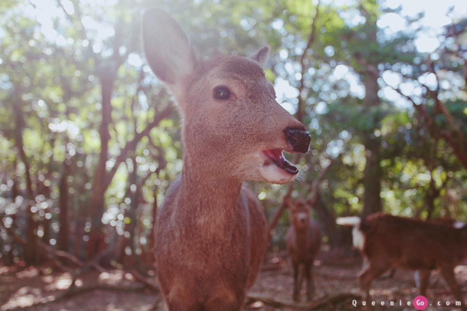 「日本關西奈良」穿越奈良公園看春日大社`世界遺產東大寺及二月堂