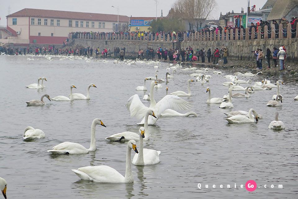 「中國大陸山東」亞洲最大的天鵝冬季棲息地-煙墩角看天鵝