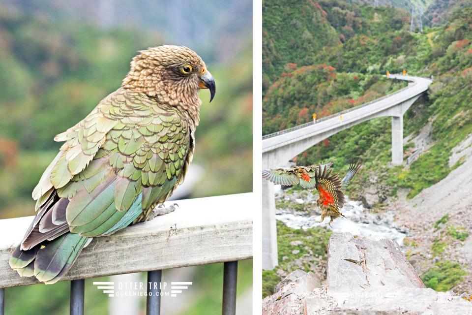 紐西蘭南島arthur's pass 亞瑟山口偶遇野生啄羊鸚鵡Kea