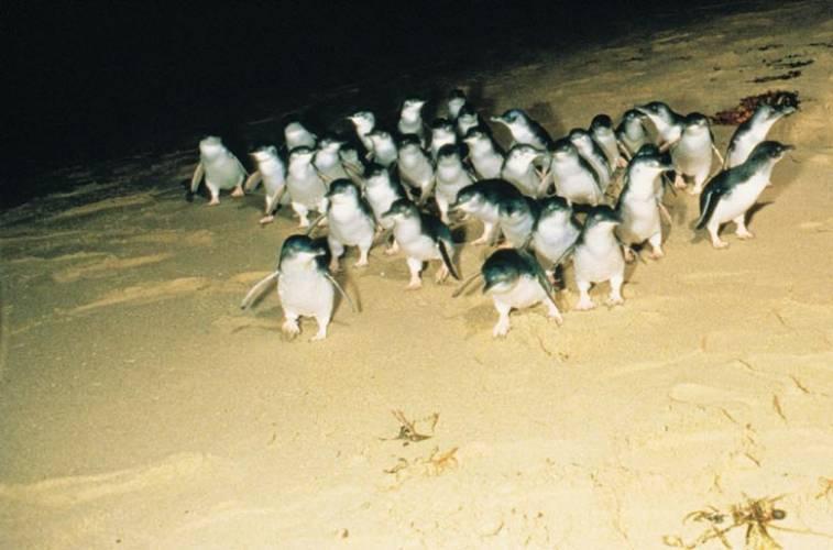phillip-island-penguin-parade.jpg