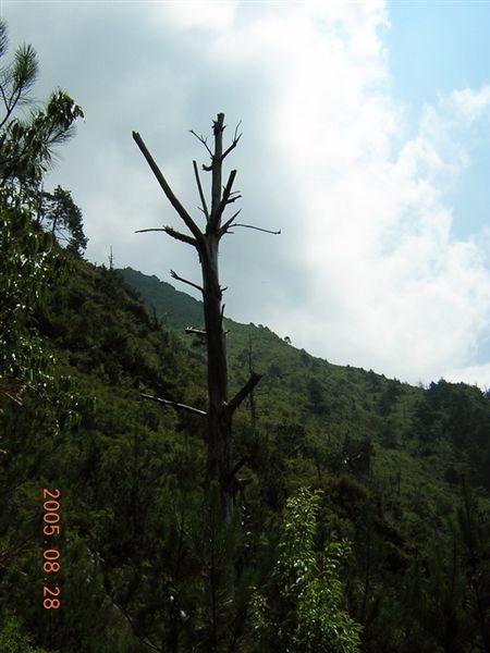 玉山上很多這樣的被火燒的獨枝