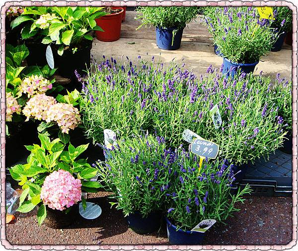 濃濃的lavendar香味讓人忍不住靠近左邊是繡球花嗎.jpg