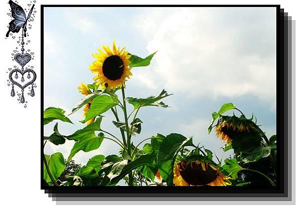 突然間看到有人家的花園種向日葵拍完他們我就迷路了.jpg