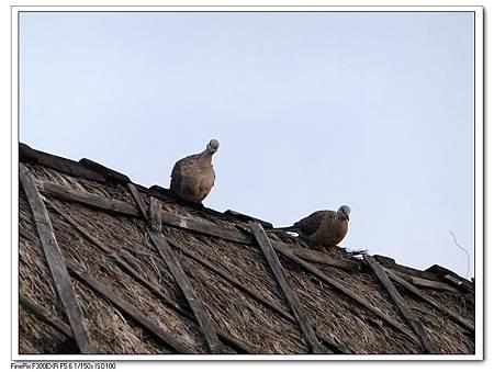 屋頂上的鴿子