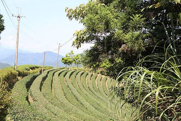 石碇八卦茶園2012.07.08 160.JPG