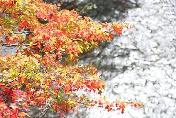 武陵+福壽山賞楓外拍之旅2013.11.13.14 003