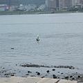 都市裡的白鷺鷥