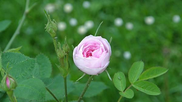 Rosa_centifolia_pomponia_De_Meaux.JPG