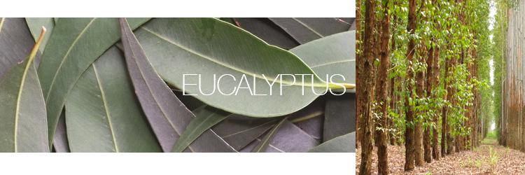 Eucalyptus-4.jpg