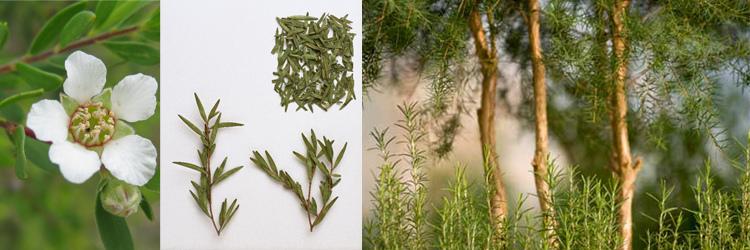 tea-tree4.jpg
