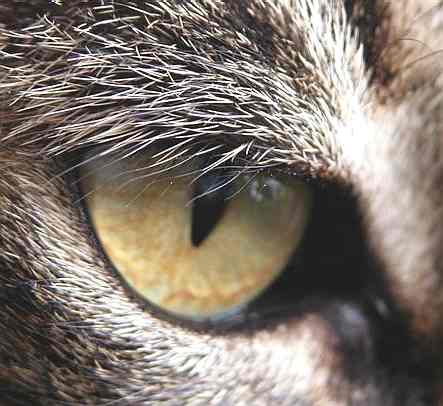 Cat_eye_close_up.jpg